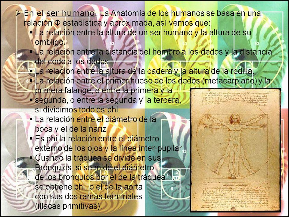 En el ser humano. La Anatomía de los humanos se basa en una relación Φ estadística y aproximada, así vemos que: