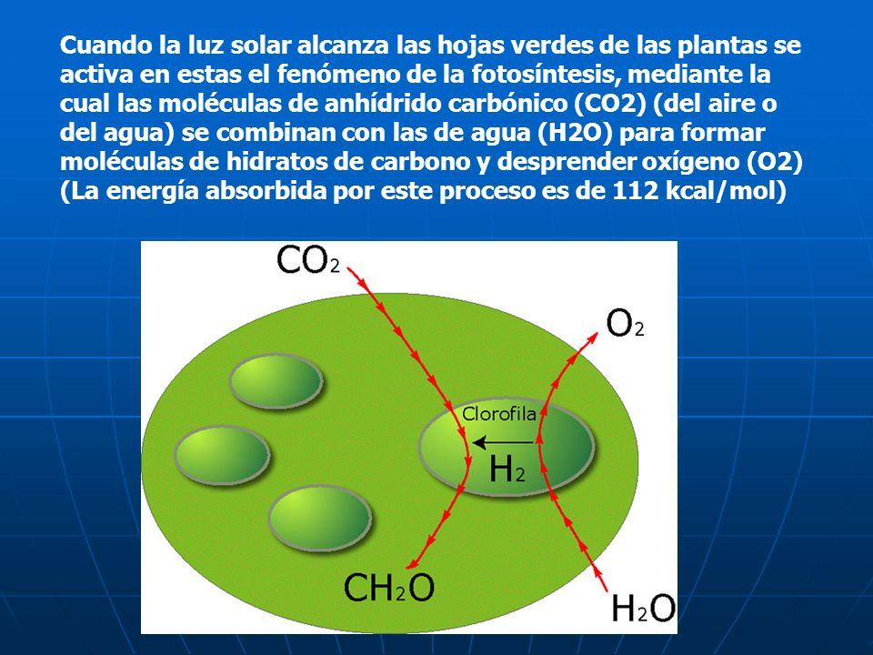 Cuando la luz solar alcanza las hojas verdes de las plantas se activa en estas el fenómeno de la fotosíntesis, mediante la cual las moléculas de anhídrido carbónico (CO2) (del aire o del agua) se combinan con las de agua (H2O) para formar moléculas de hidratos de carbono y desprender oxígeno (O2) (La energía absorbida por este proceso es de 112 kcal/mol)