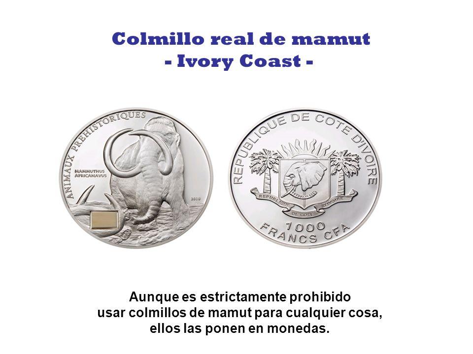 Colmillo real de mamut - Ivory Coast -