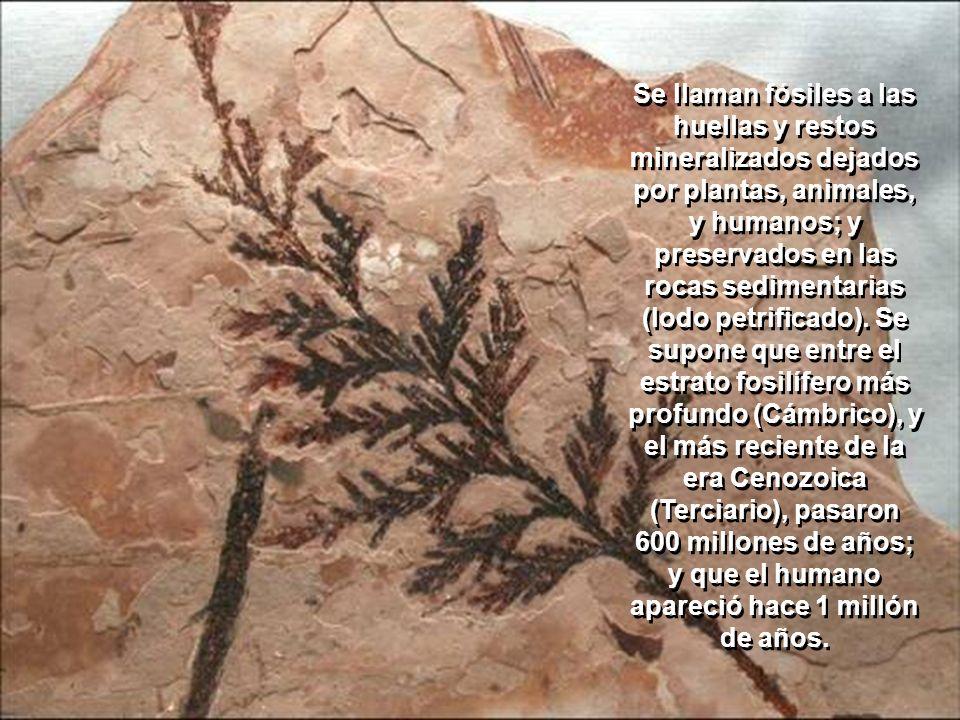 Se llaman fósiles a las huellas y restos mineralizados dejados por plantas, animales, y humanos; y preservados en las rocas sedimentarias (lodo petrificado).