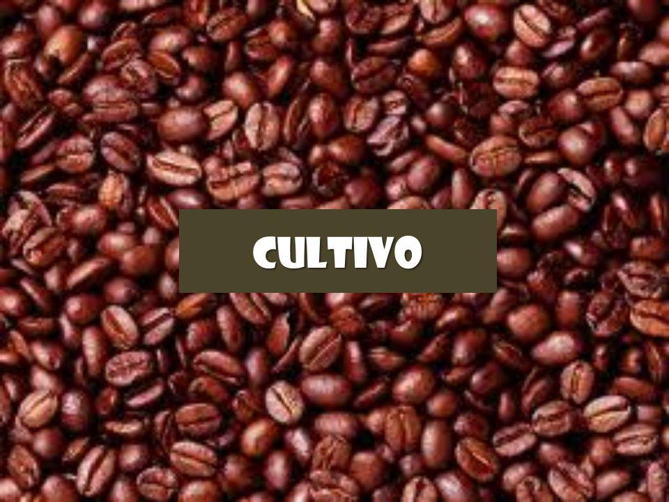 CULTIVO