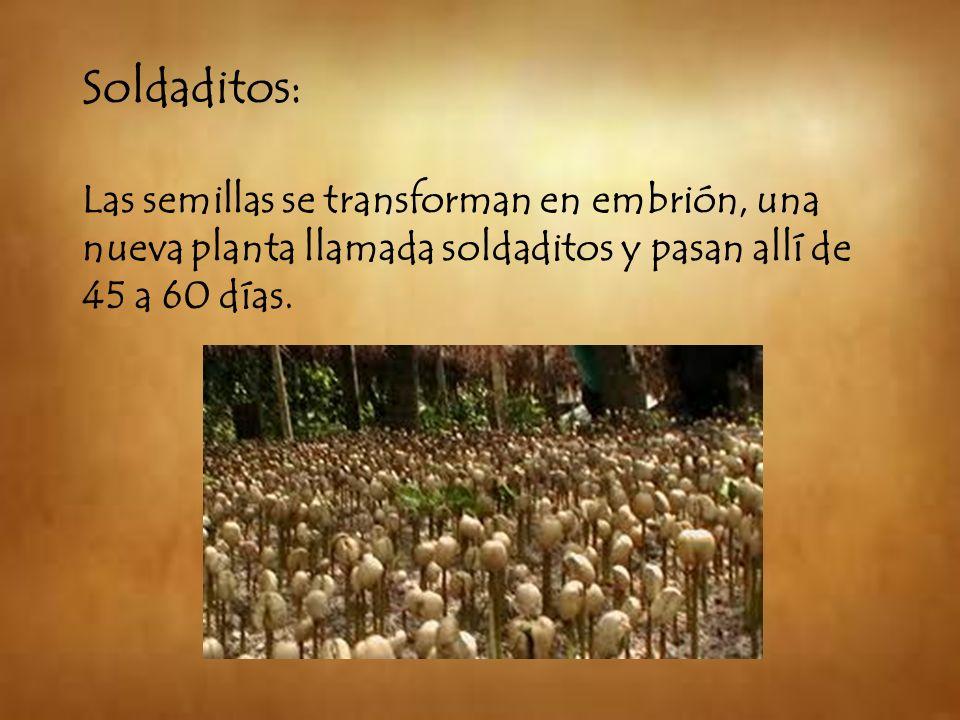 Soldaditos: Las semillas se transforman en embrión, una nueva planta llamada soldaditos y pasan allí de 45 a 60 días.
