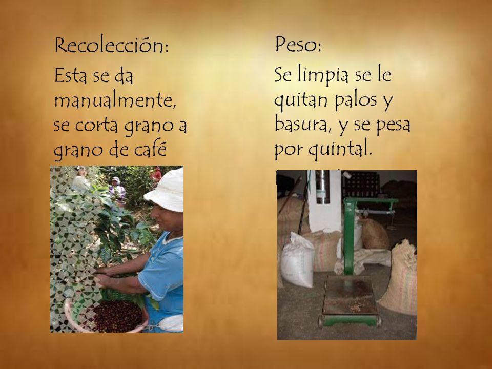 Recolección: Esta se da manualmente, se corta grano a grano de café cereza. Peso: Se limpia se le quitan palos y basura, y se pesa por quintal.