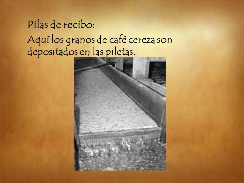 Pilas de recibo: Aquí los granos de café cereza son depositados en las piletas.