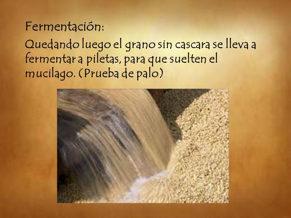 Fermentación: Quedando luego el grano sin cascara se lleva a fermentar a piletas, para que suelten el mucilago.