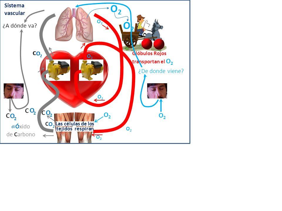 O2 O2 2 C O 2 C O C O 2 O2 O2 Sistema vascular ¿A dónde va 2 C O 2 C