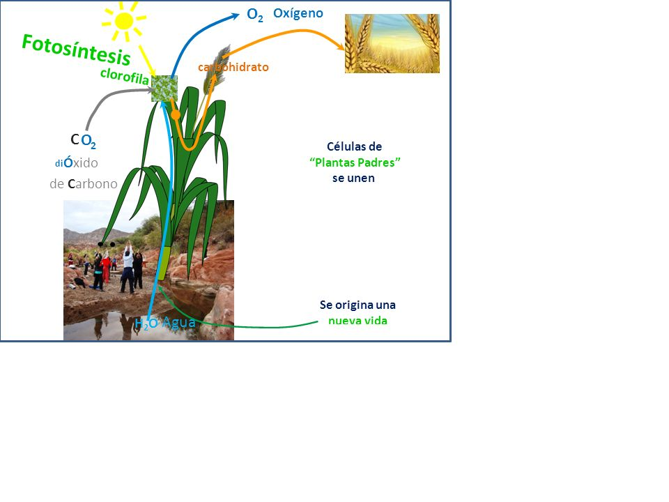 Fotosíntesis O2 C O 2 Agua Oxígeno clorofila di Óxido de Carbono H2O
