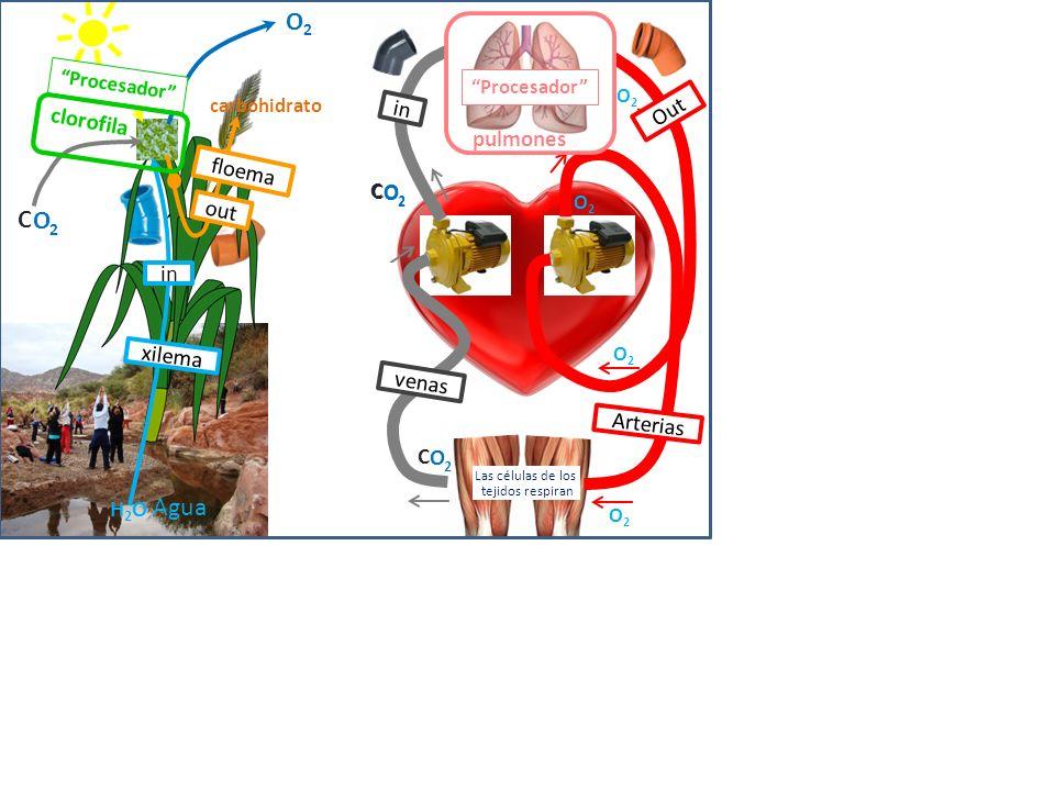 O2 C O 2 Agua clorofila in Out pulmones floema 2 C O 2 C O out in
