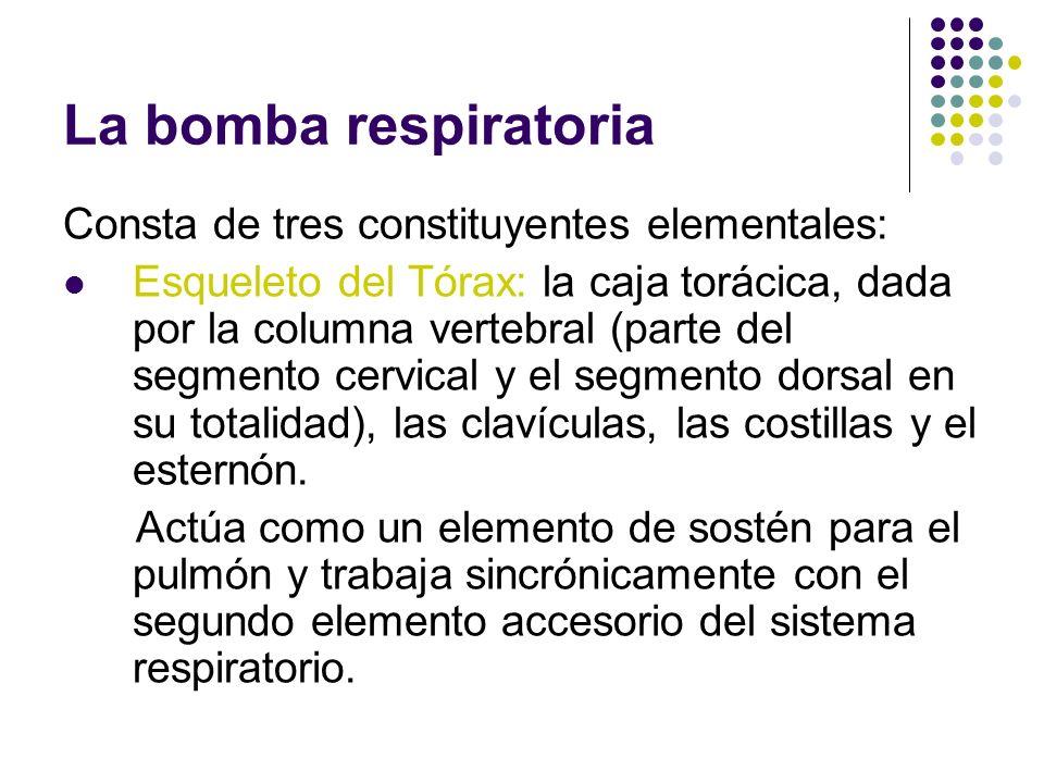 La bomba respiratoria Consta de tres constituyentes elementales:
