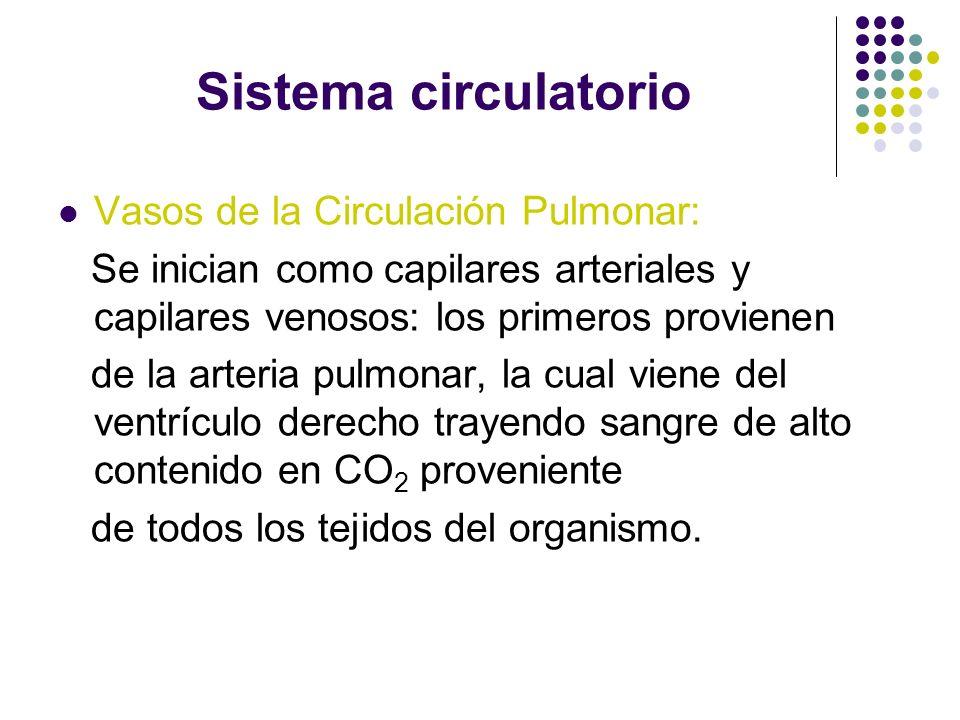 Sistema circulatorio Vasos de la Circulación Pulmonar: