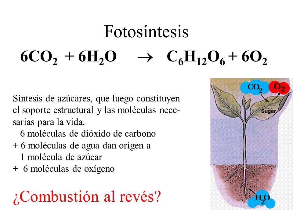 Fotosíntesis 6CO2 + 6H2O  C6H12O6 + 6O2