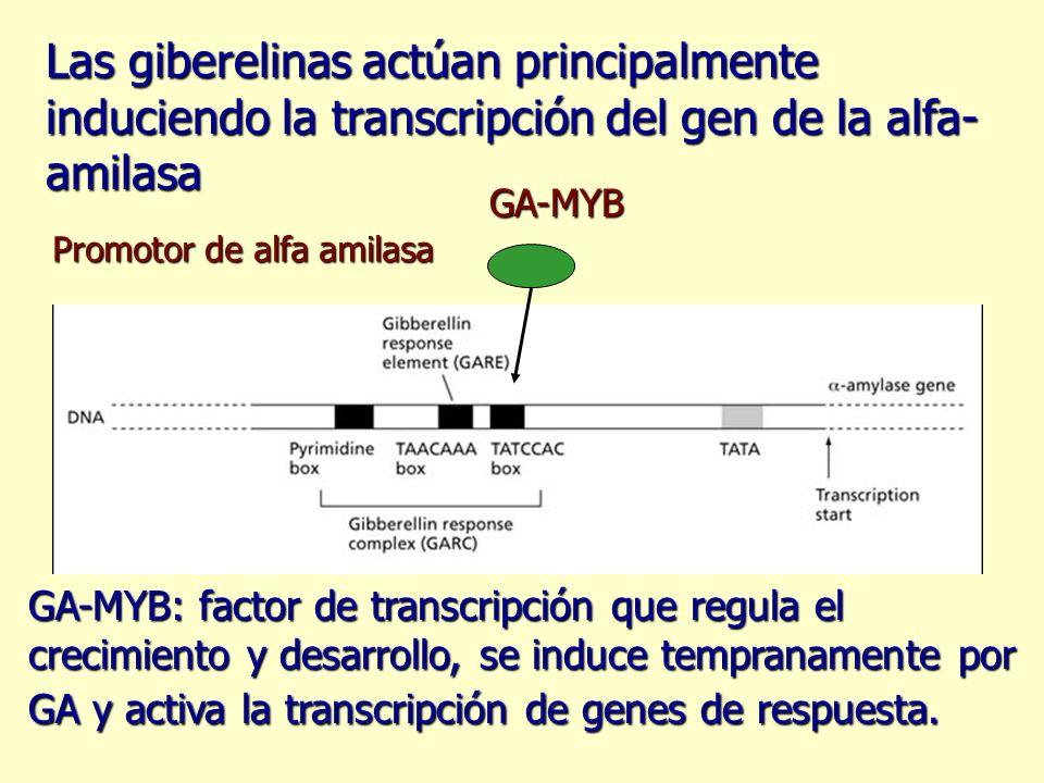 Las giberelinas actúan principalmente induciendo la transcripción del gen de la alfa-amilasa
