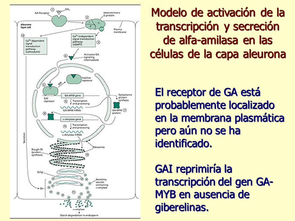 Modelo de activación de la transcripción y secreción de alfa-amilasa en las células de la capa aleurona