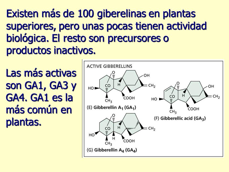 Existen más de 100 giberelinas en plantas superiores, pero unas pocas tienen actividad biológica. El resto son precursores o productos inactivos.