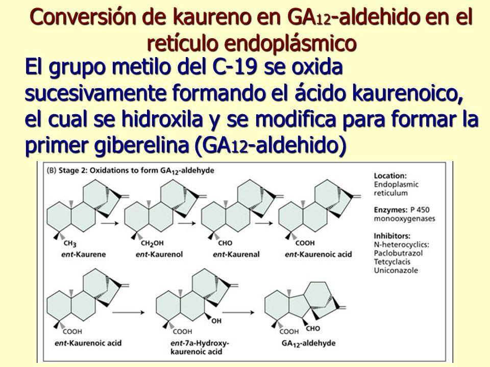 Conversión de kaureno en GA12-aldehido en el retículo endoplásmico