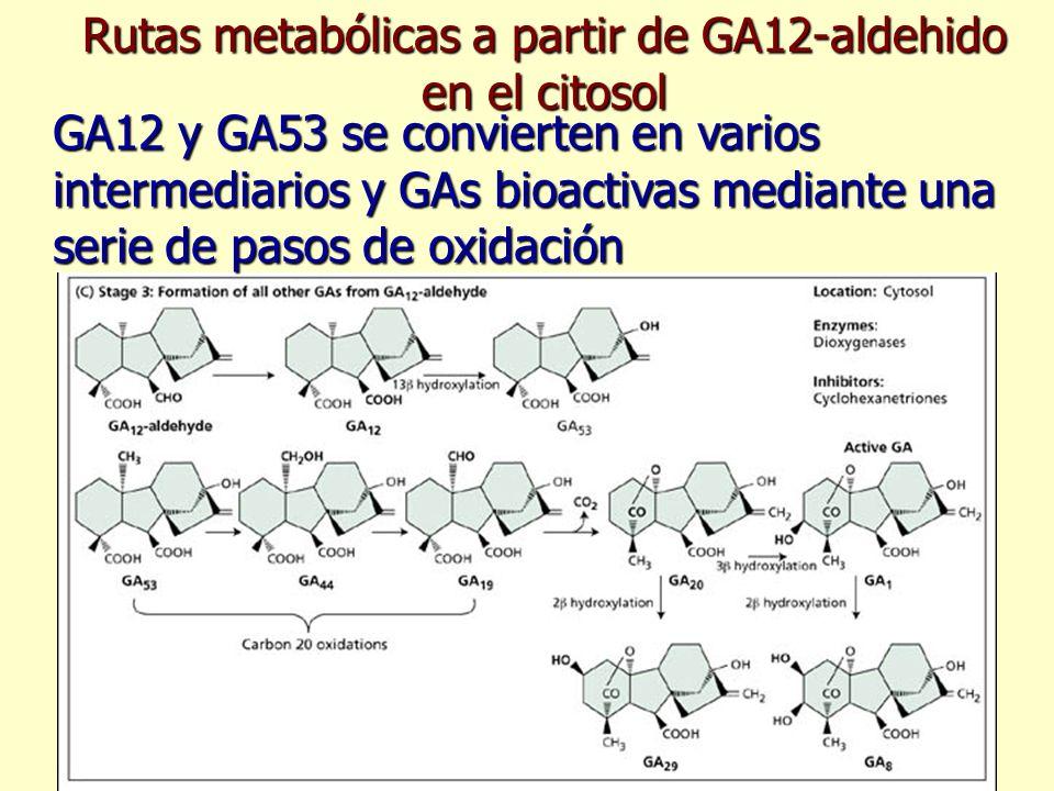 Rutas metabólicas a partir de GA12-aldehido en el citosol