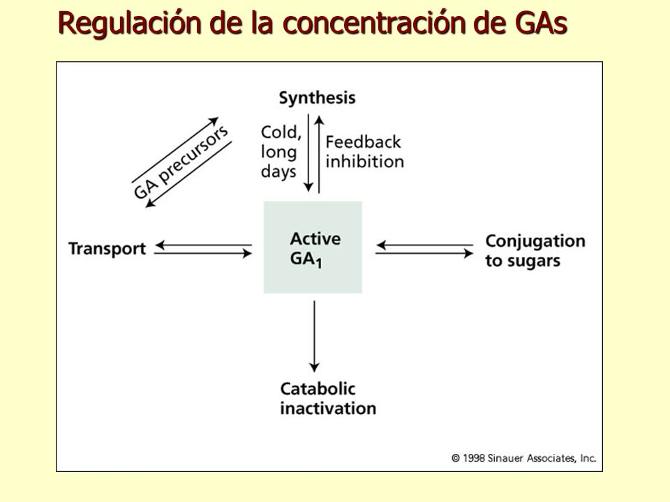 Regulación de la concentración de GAs