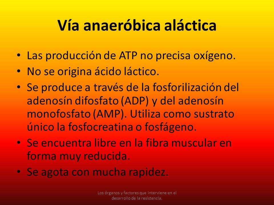 Vía anaeróbica aláctica