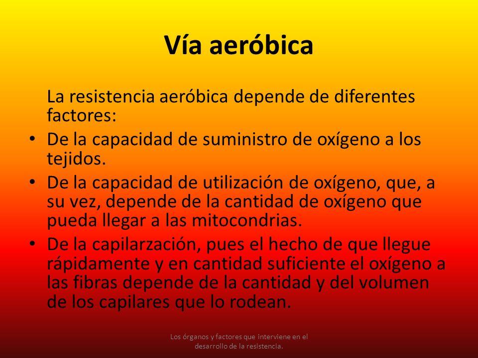 Vía aeróbica La resistencia aeróbica depende de diferentes factores: