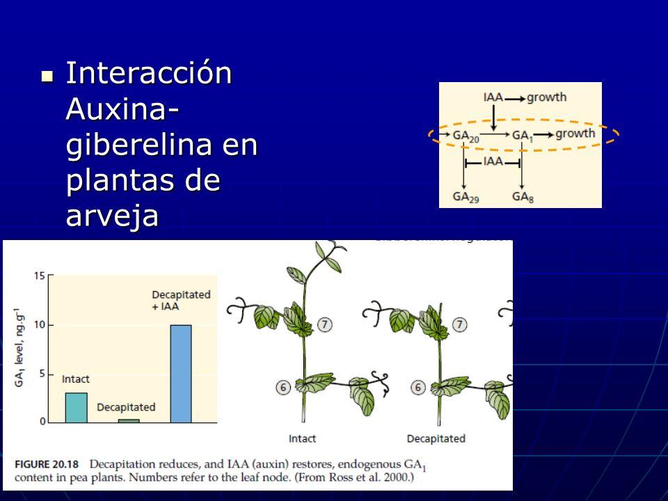 Interacción Auxina-giberelina en plantas de arveja