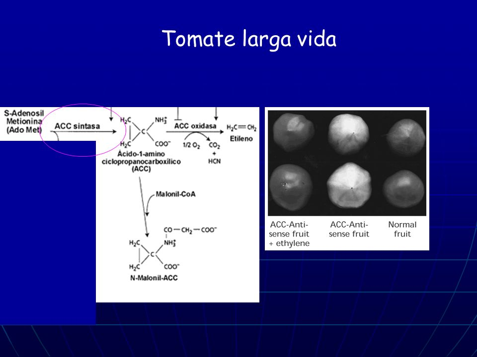 Tomate larga vida Synthesis of ethylene has been