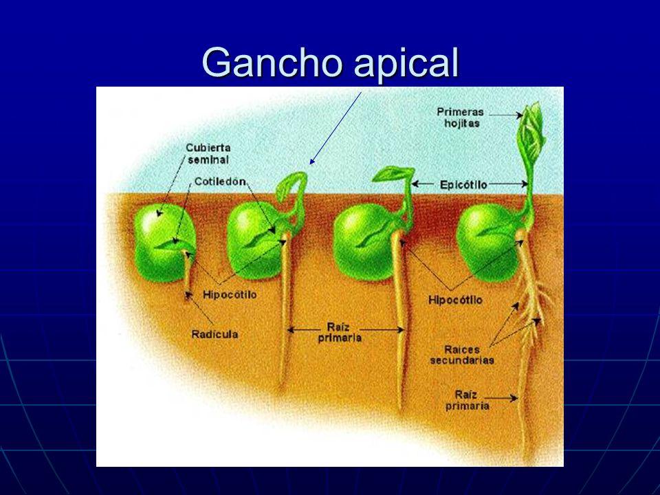Gancho apical