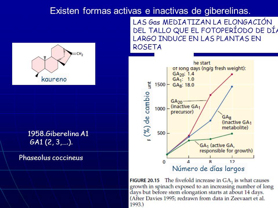 Existen formas activas e inactivas de giberelinas.