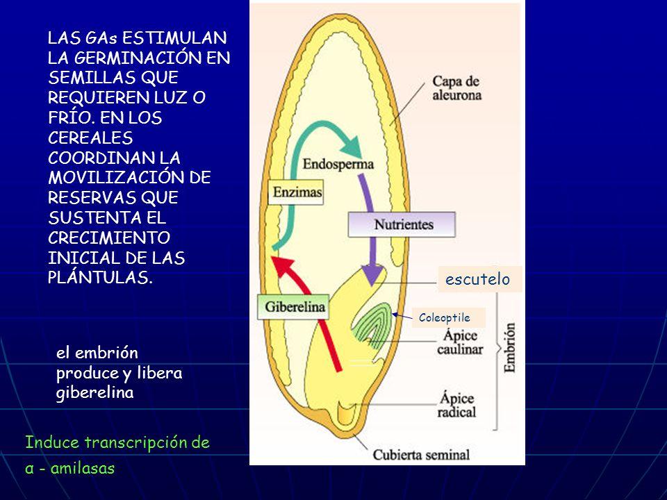 el embrión produce y libera giberelina