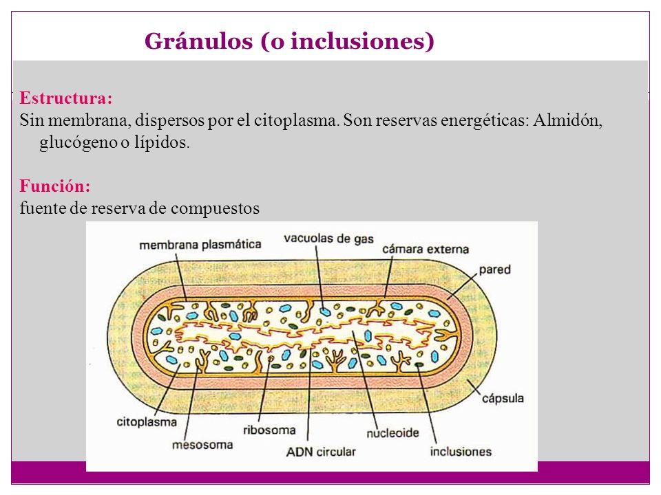 Gránulos (o inclusiones)