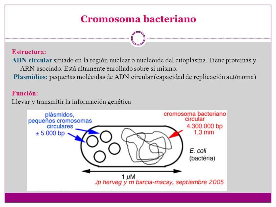 Cromosoma bacteriano Estructura: