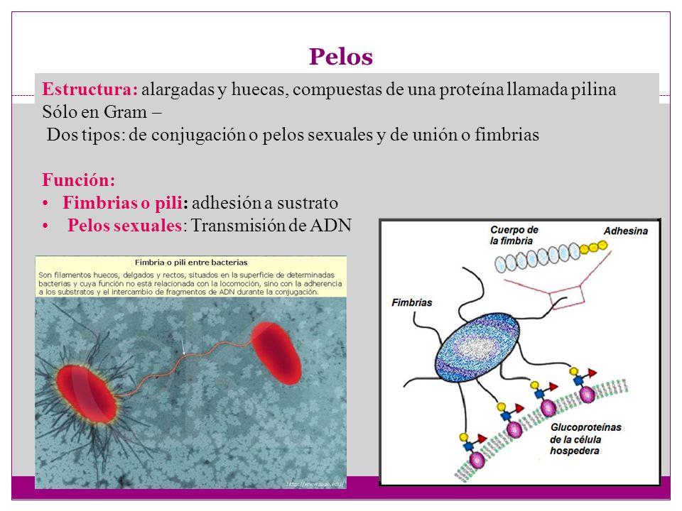 Pelos Estructura: alargadas y huecas, compuestas de una proteína llamada pilina. Sólo en Gram –