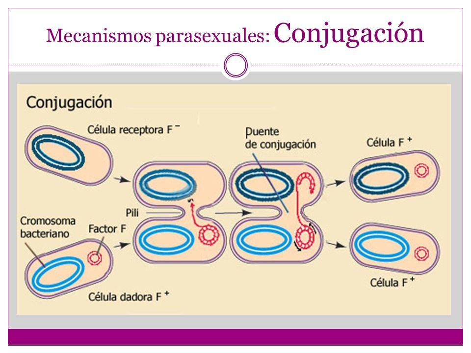 Mecanismos parasexuales: Conjugación