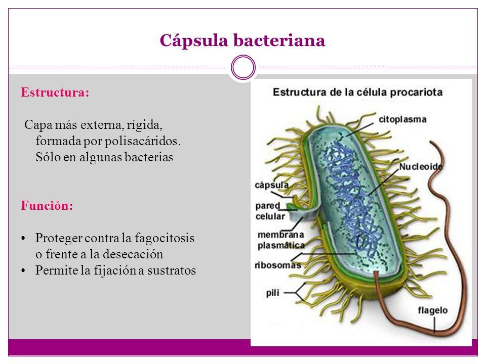 Cápsula bacteriana Estructura: