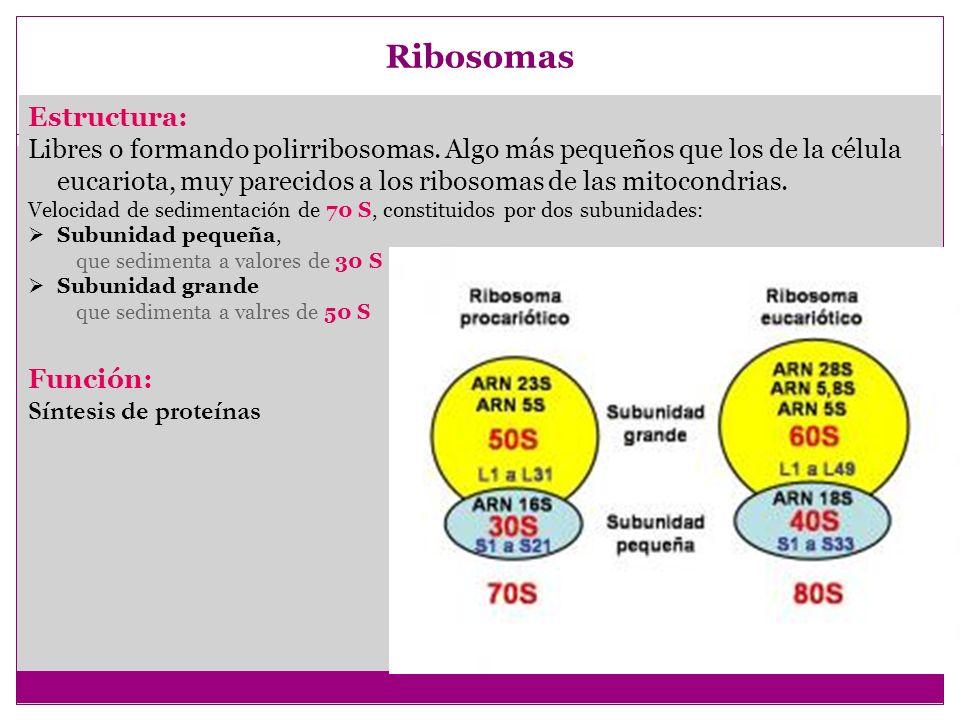 Ribosomas Estructura: