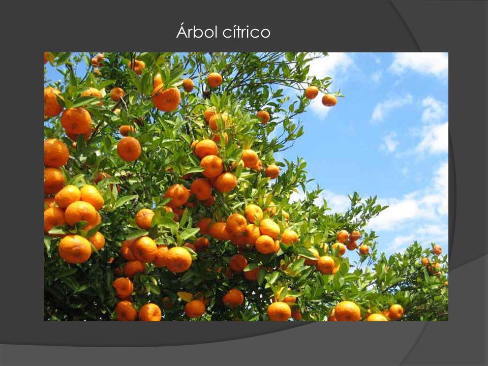 Árbol cítrico