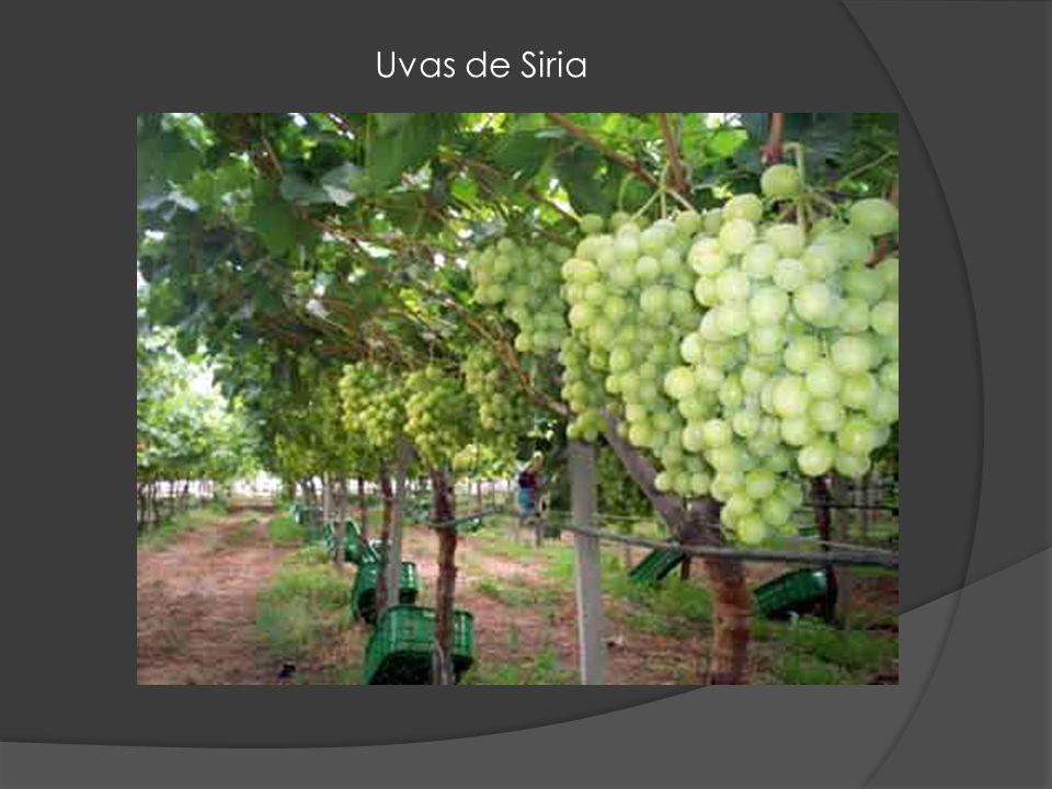Uvas de Siria