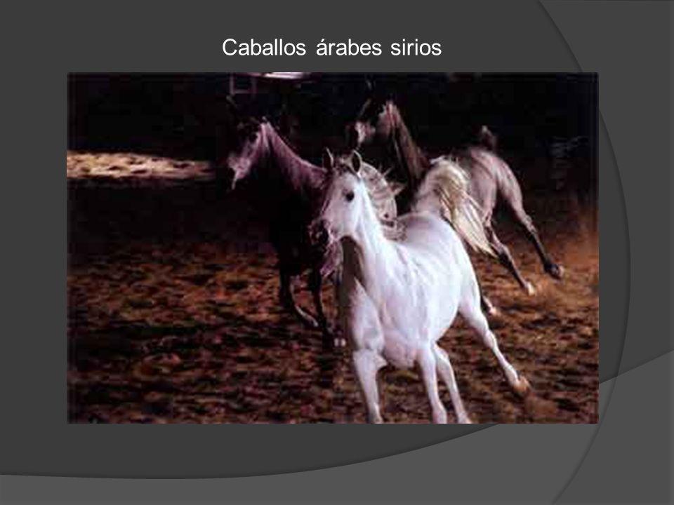 Caballos árabes sirios