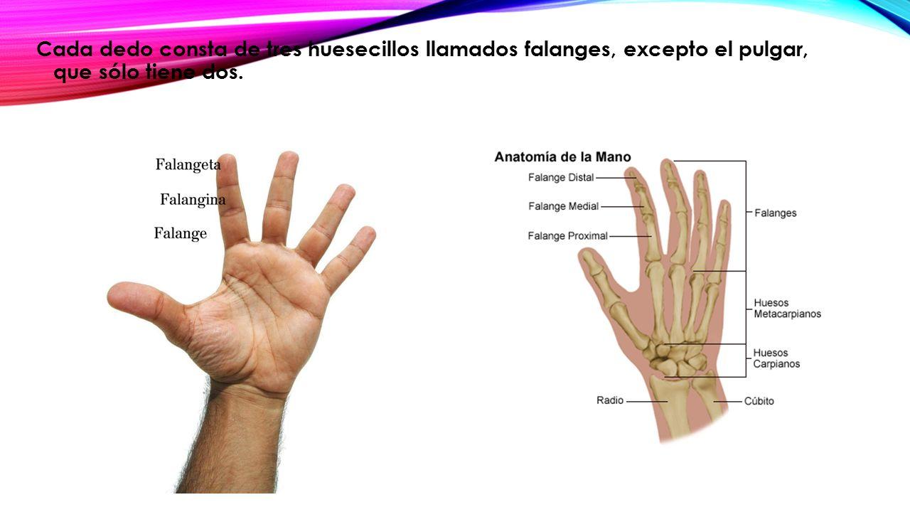 Excelente Disparador De La Anatomía Del Dedo Ilustración - Anatomía ...