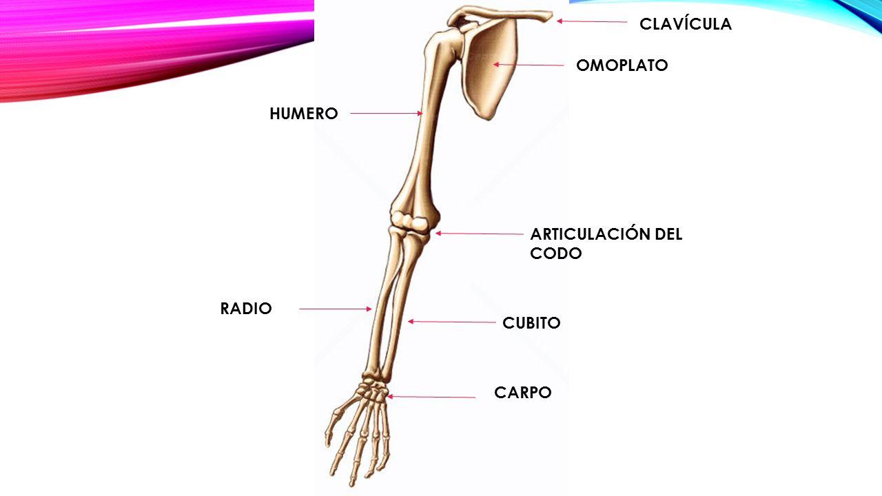 Bonito Radio Vs Cúbito Galería - Anatomía de Las Imágenesdel Cuerpo ...