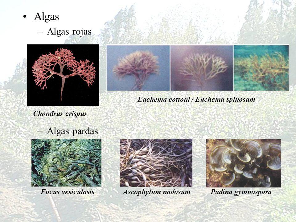 Algas Algas rojas Algas pardas Euchema cottoni / Euchema spinosum