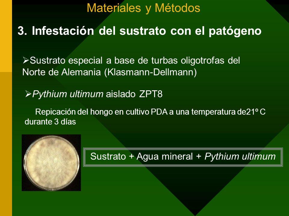 Sustrato + Agua mineral + Pythium ultimum