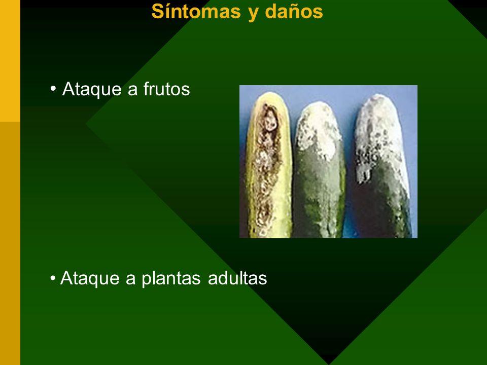 Síntomas y daños Ataque a frutos Ataque a plantas adultas