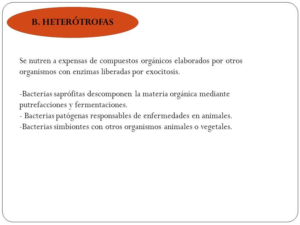 B. HETERÓTROFAS Se nutren a expensas de compuestos orgánicos elaborados por otros organismos con enzimas liberadas por exocitosis.