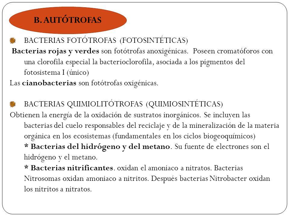 B. AUTÓTROFAS BACTERIAS FOTÓTROFAS (FOTOSINTÉTICAS)