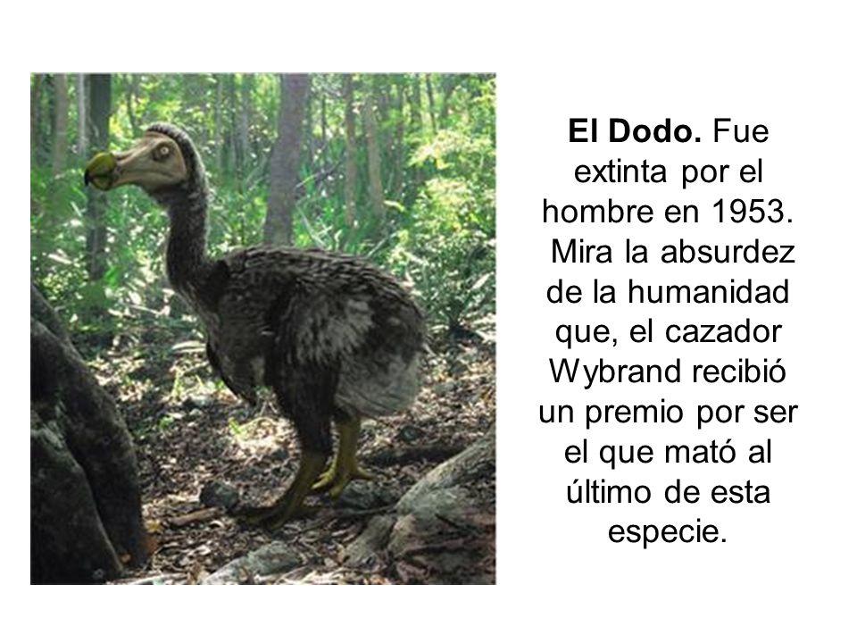 El Dodo. Fue extinta por el hombre en 1953.