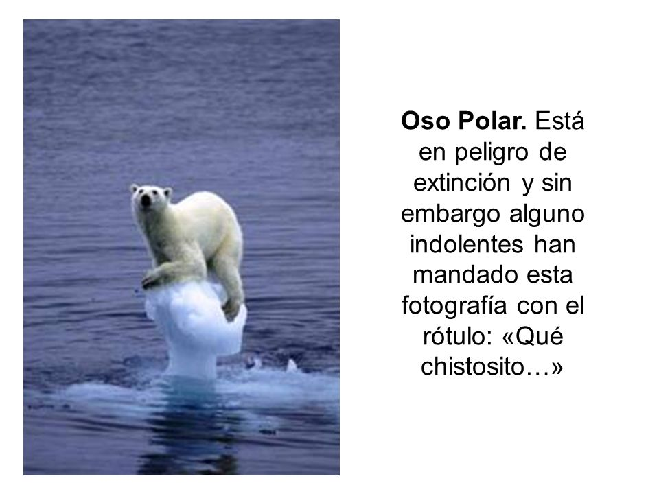 Oso Polar.