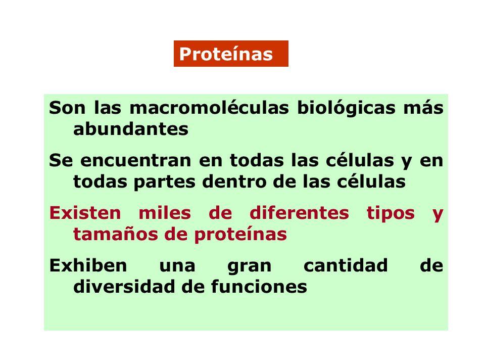 Proteínas Son las macromoléculas biológicas más abundantes. Se encuentran en todas las células y en todas partes dentro de las células.