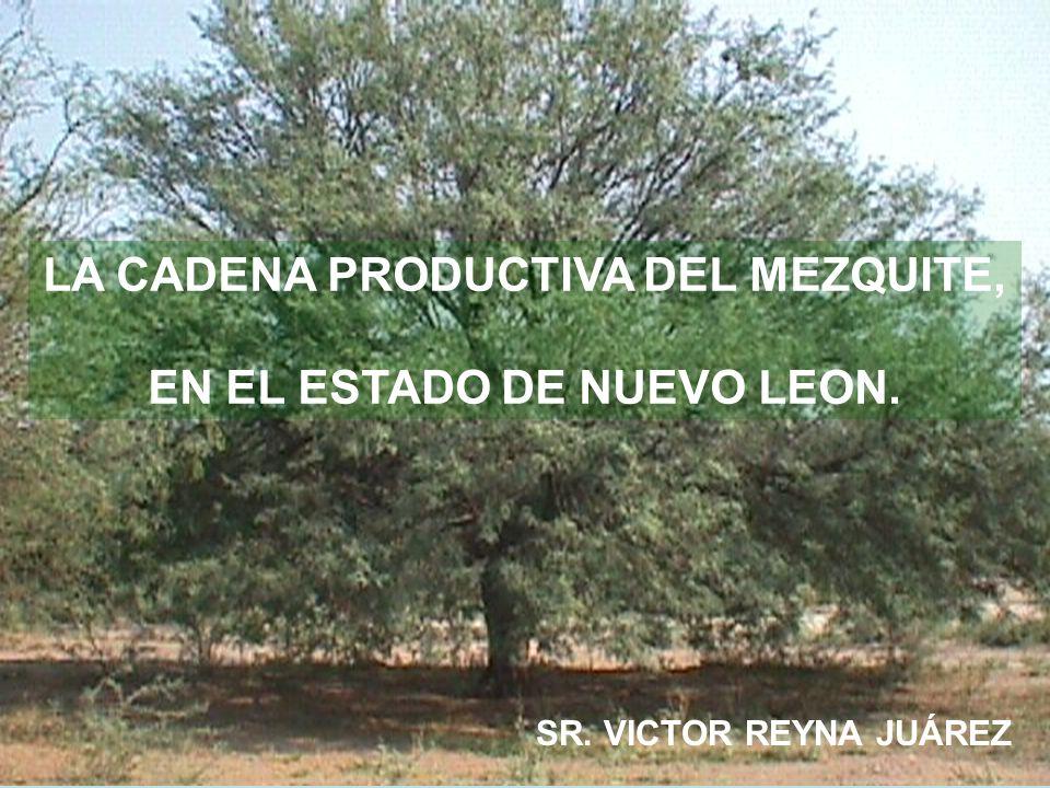 LA CADENA PRODUCTIVA DEL MEZQUITE, EN EL ESTADO DE NUEVO LEON.
