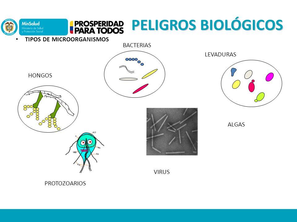 PELIGROS BIOLÓGICOS TIPOS DE MICROORGANISMOS BACTERIAS LEVADURAS