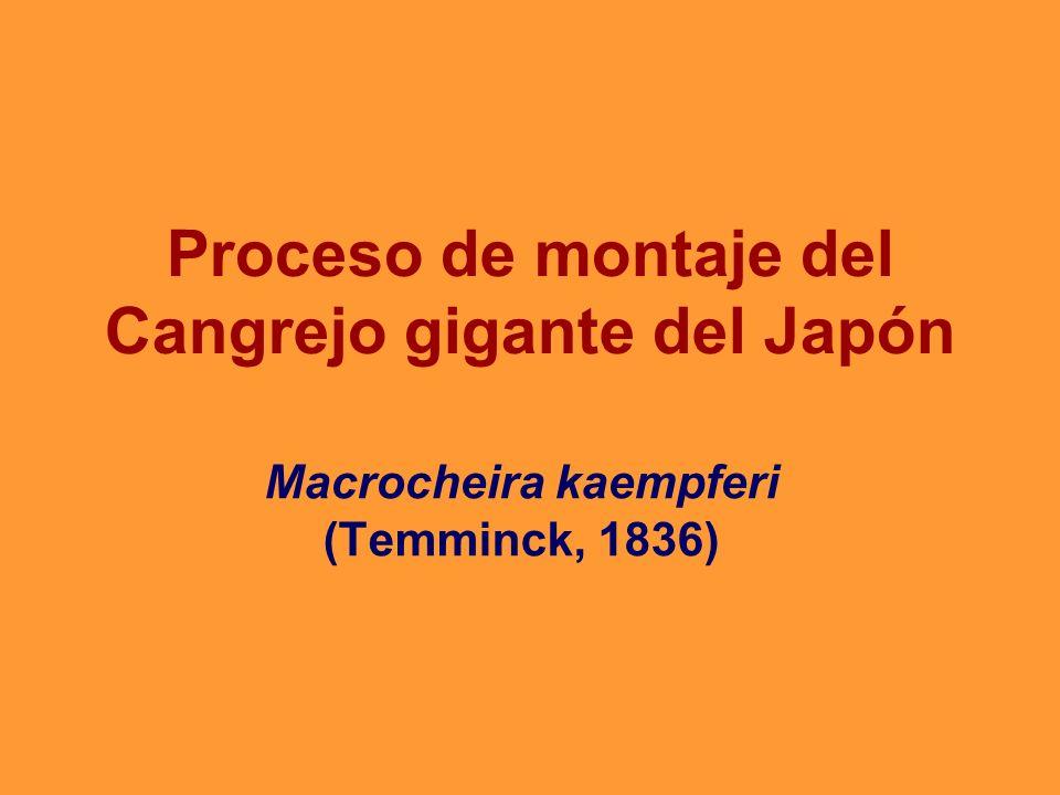 Proceso de montaje del Cangrejo gigante del Japón
